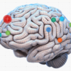 An interactive 3D infographic of Brain